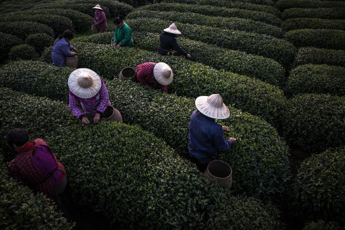 Tea Plantation - 1.jpg