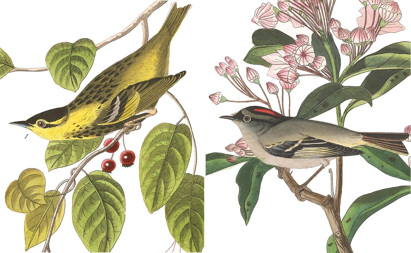 John James Audubon S Five Mystery Birds