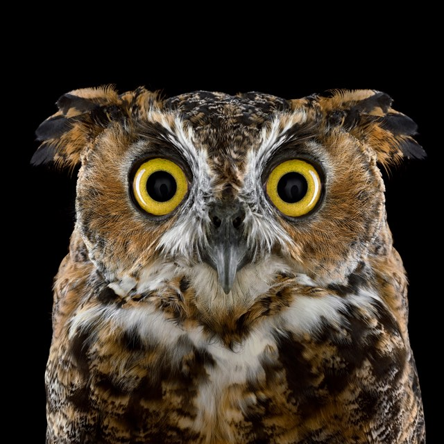brad wilson owl - Owl Picture