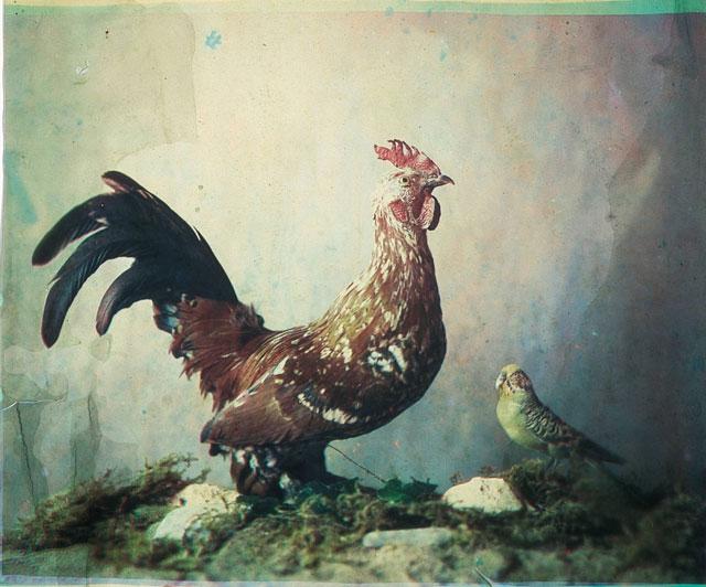 Rooster Ducos Du Hauron