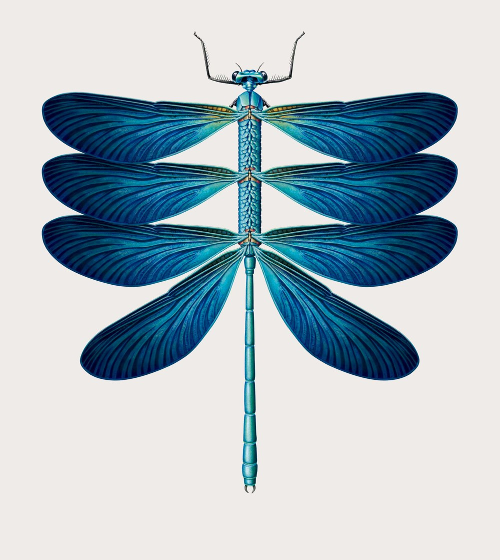 An illustration made to look like an old textbook biological illustration featuring a dragonfly but it has three pairs of wings down a long body