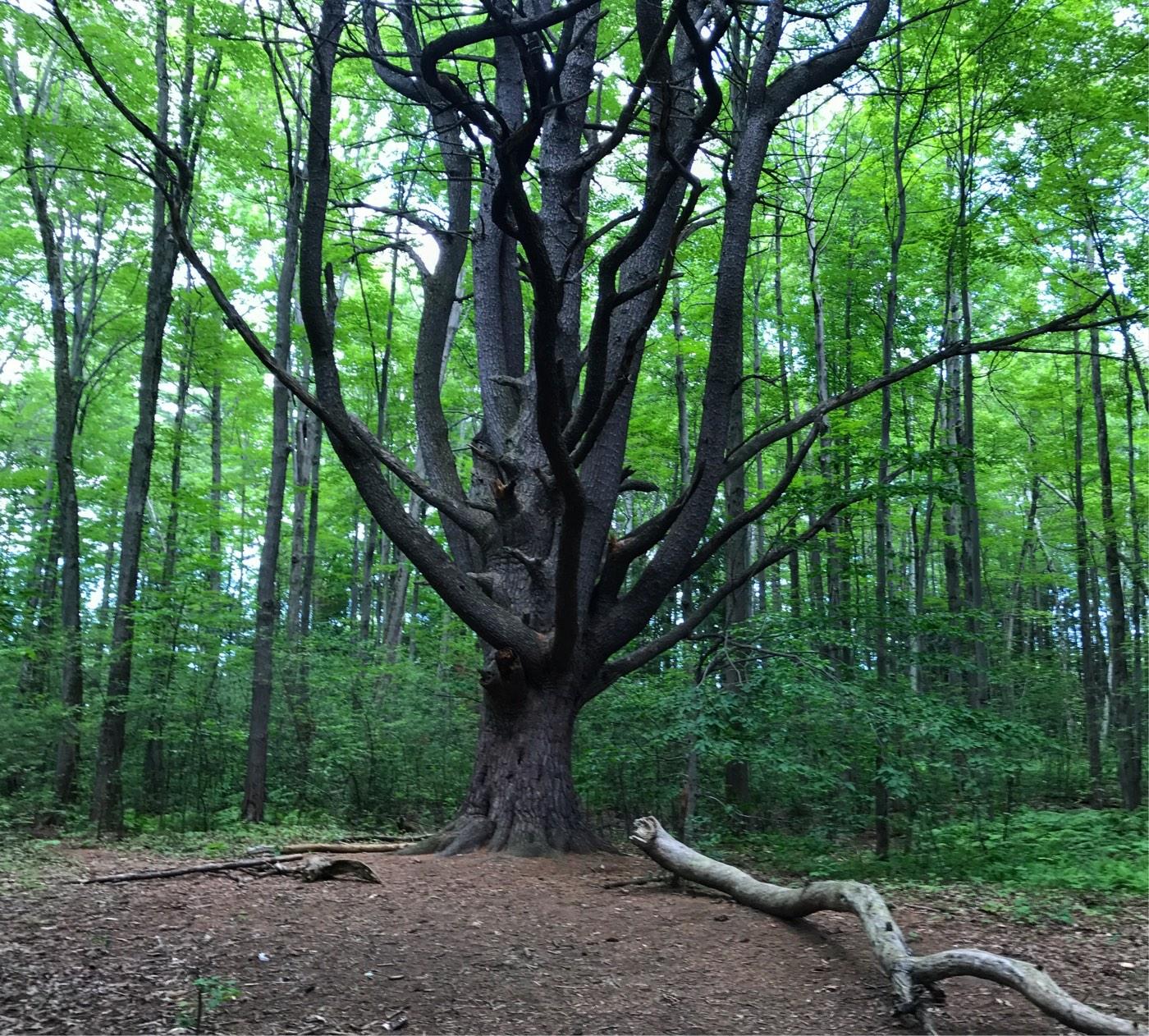 wolf trees